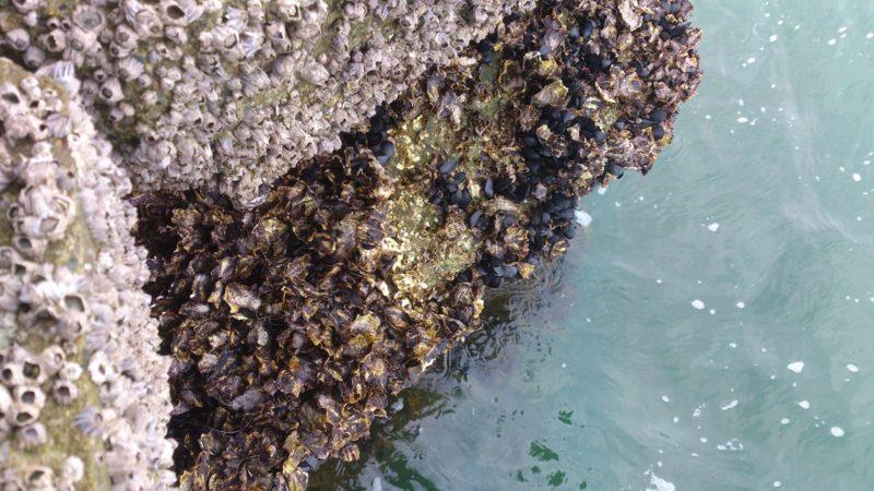 岸壁に着くカラス貝(イガイ)