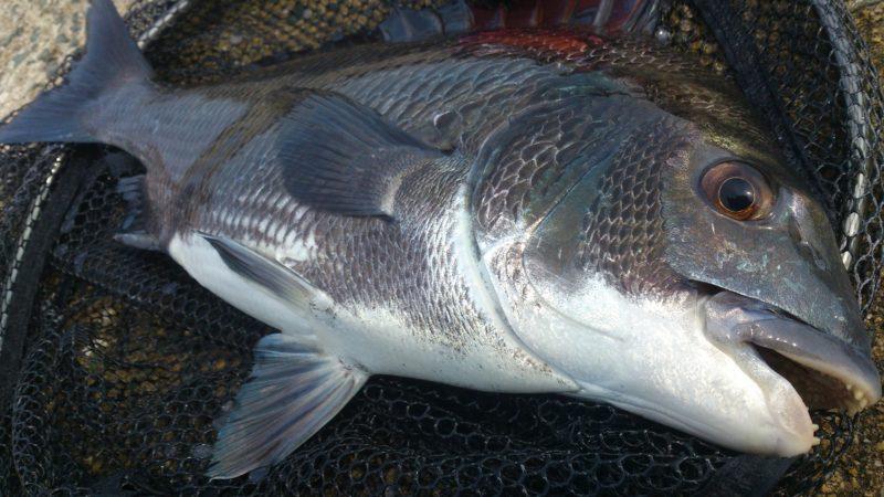 姪浜漁港の黒鯛