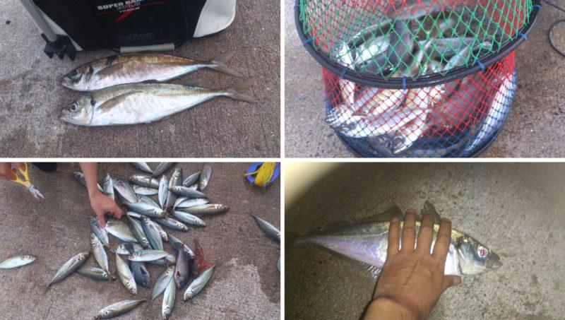 サビキ釣りの釣果