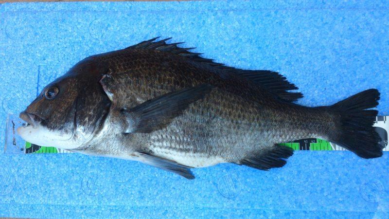 51.5cmの黒鯛