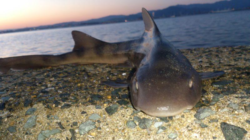 投げ釣りで釣れたドチザメ