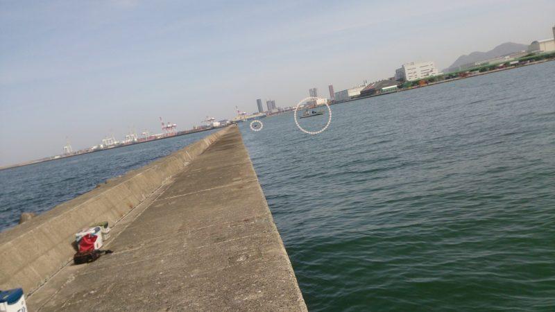 博多港湾でワカメ漁