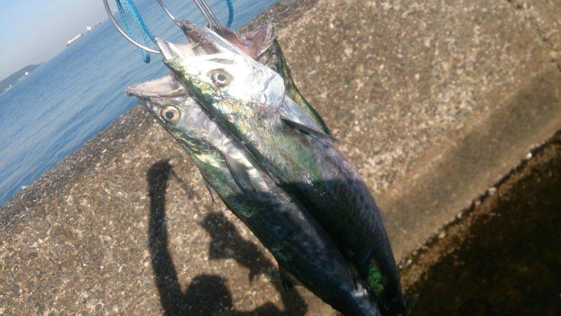 サゴシ大漁